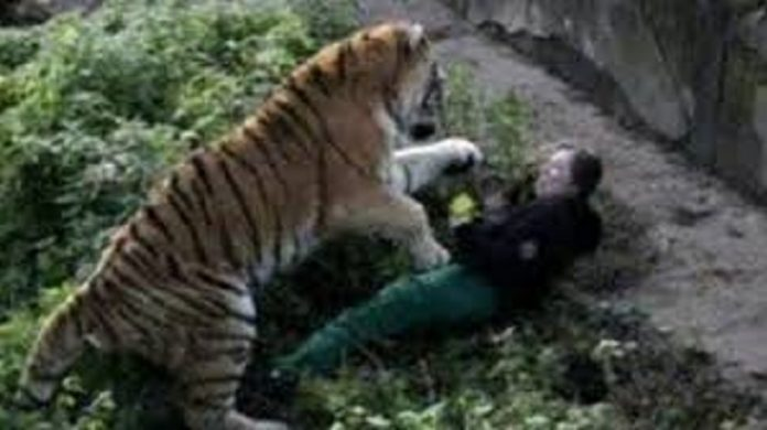 Madness in front of the tiger; Human Being fell to tiger | you know what the tiger did | The tears are coming |recallvideo